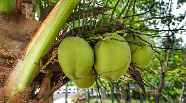 Zrající kokosy na stromě